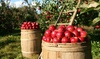 Ridgefield Farm - Ridgefield Farm: Apple Picking and Cornfield-Maze Outing for Two or Four at Ridgefield Farm (Up to 50% Off)