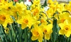 Daffodil Bulbs Pre-Order: Daffodil Bulbs Pre-Order from $10.99–$38.99