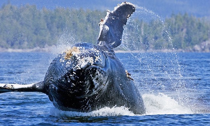 Jamie's Whaling Station - Tofino & Ucluelet - Multiple Locations: Whale-Watching or Hot Springs Tour from Jamie's Whaling Station - Tofino & Ucluelet (Up to 45% Off)