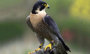 S & D Falconry: Birds of Prey: Two-Hour Session at S & D Falconry (Up to 73% Off)