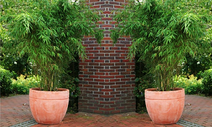 Two Fargesia Bamboo Plants