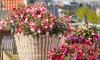 6x Fuchsia Bella-planten