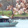 Up to 52% Off Happy-Hour or Cherry Blossom Cruise