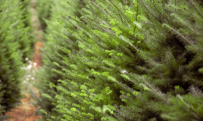 The Tree Lot - Tampa: $42 for an 8-Foot Fraser Fir Christmas Tree at The Tree Lot ($80 Value)