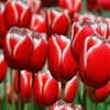 Holland's Special Tulip Bulbs