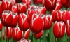 Holland's Special Tulip Bulbs: Pre-Order Holland's Special Tulips