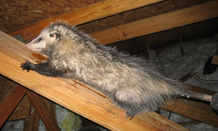 Atticrawl - North Jersey: Rodent-Inspection Service from Atticrawl (46% Off)