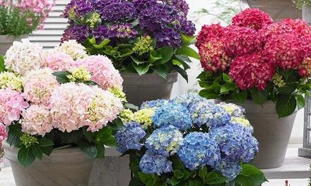 Set van 3 of 6 Hortensia's in kleur naar keuze vanaf € 19,99 tot korting