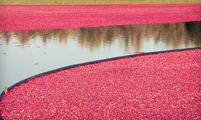 Colonial Lantern Tours - Carver: Cranberry-Farm Tour with Cranberry Picking for Two or Four from Colonial Lantern Tours (Up to 65% Off)