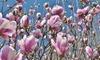 Set van 3 of 6 Magnolia planten