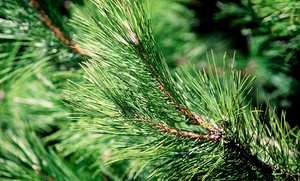 $45 For A 6���- To 8-foot Pre-cut Noble Fir At Victorian Tree Ranch ($90 Value)