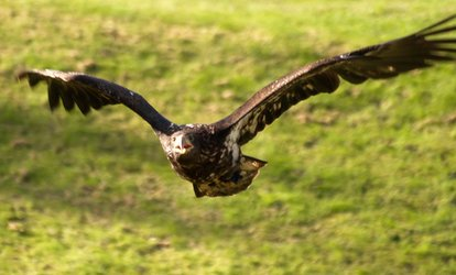 image for Falconry Experience with Hawks, Owls and Falcons For One, Two or Four at Hawks of Steele (Up to 63% Off)