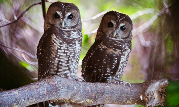 Mountain View Wildlife Conservation - Langley: Adoption of a Northern Spotted Owl and Guided Tour for Two or Four at Mountain View Wildlife Conservation (Half Off)