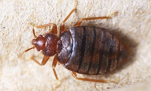 How Clean It Is: Bed-Bug Building Inspection of 1–10 Bedrooms from How Clean It Is (Up to 52% Off)
