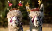 Alpaca Care Workshop for One or Two at Charnwood Forest Alpacas (Up to 52% Off)