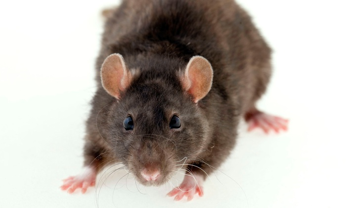 Capitol Pest - Bethesda: Full Rodent Removal and Entry Point Inspection or $200 Towards any Service from Capitol Pest (Up to 59%)