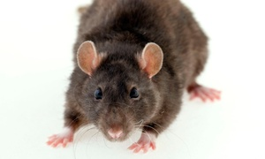 Capitol Pest: Full Rodent Removal and Entry Point Inspection or $200 Towards any Service from Capitol Pest (Up to 59%)
