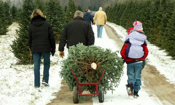 Cedar Grove Christmas Trees - Montclair Heights: 7- to 8-Foot Douglas or Fraser Fir Christmas Tree at Cedar Grove Christmas Trees (50% Off)