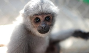 Gibbon Conservation Center: Admission for Two or Four or Private Tour for Up to 10 to Gibbon Conservation Center (Up to 55% Off)