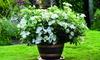 Hydrangea 'Runaway Bride' in 1L or 3L Pot