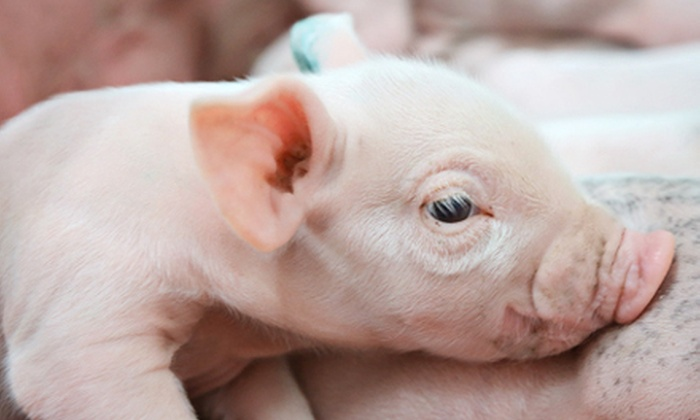 Fair Oaks Farms - Fair Oaks: Admission for Two or Four to the Dairy Adventure and the Pig Adventure at Fair Oaks Farms (Up to 44% Off)