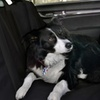 American Kennel Club Back Seat Cover