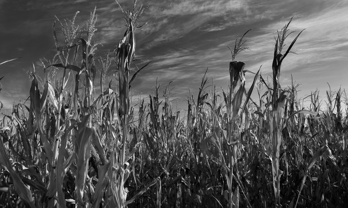 Heap's Haunted Corn Maze - Clublands: Heaps Haunted Corn Maze Visit with Hayride for Two, Four, or Six (Up to 51% Off)