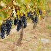 55% Off Vineyard and Winery Tour and Tasting