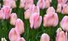 Tulip Bella Blush - 16 or 32 Bulbs