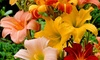 Daylily Flower Mix (6- or 15-Pack): Daylily Flower Bulbs (6- or 15-Pack)
