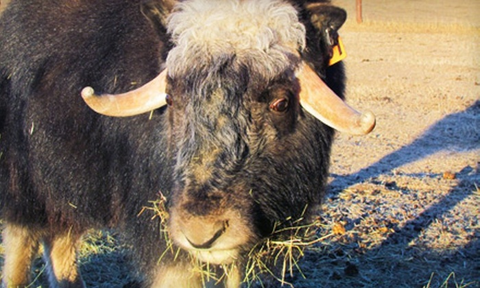 The Musk Ox Farm - The Musk Ox Farm: Day Visit or Season Membership for Two or Four to The Musk Ox Farm in Palmer (Up to 57% Off)