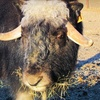 Up to 57% Off Musk Ox Farm Visit