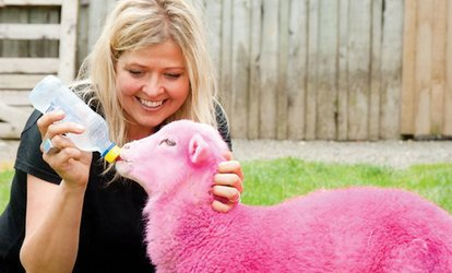 image for SheepWorld Pass for a Child ($6), Adult ($17) or Family of Four ($35), Warkworth (Up to $69 Value)