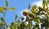 Clementine/California Honey/Kishu/Pixie Mandarin Trees