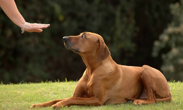 Headstrong Dog Training - Wake Forest: One or Three Sessions of In-Home Dog Training from Headstrong Dog Training (Up to 51% Off)