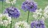 Agapanthus Festival Plants 9cm