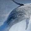 Up to 53% Off Whale Watching