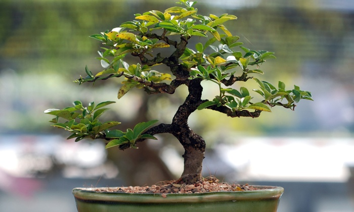 Bishopsford Bonsai Nursery - Cape Town: Introductory Bonsai Course and a Bonsai for R197 at Bishopsford Bonsai Nursery (50% Off)