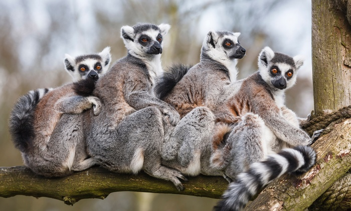 Duke Lemur Center - Durham: Lemurs Live! Tour for 2 or Behind-the-Scenes Weekend or Weekday Tour for 1 at Duke Lemur Center (Up to 42% Off)