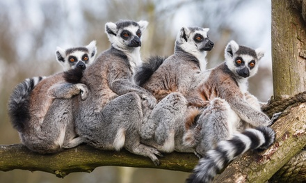Lemurs Live! Tour for 2 or Behind-the-Scenes Weekend or Weekday Tour for 1 at Duke Lemur Center (Up to 42% Off)