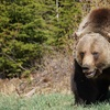 Up to 30% Off Admission to Grizzly Bear Refuge