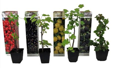 4er- oder 8er-Set Beerenpflanzen