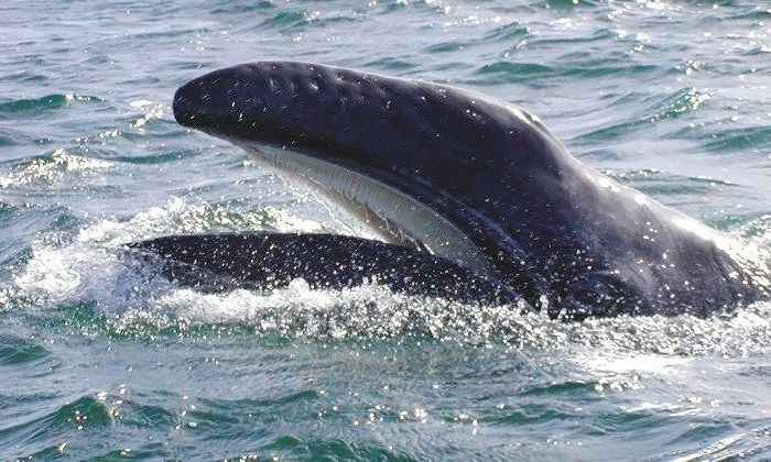 Mystic Sea Charters - Langley: Gray-Whale-Watching Tour for One, Two, or Four from Mystic Sea Charters (Up to 40% Off)