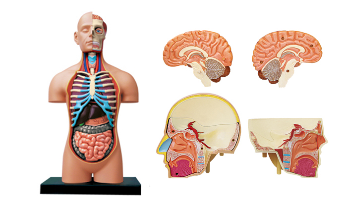 30 Off Know Your Body 119 Up 4d Human Anatomy Model 299