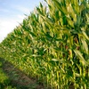 Up to Half Off Corn Maze for Two, Four, or Six
