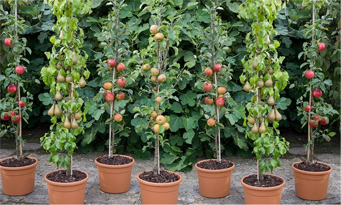 Gardening Express: Four Or Five Dwarf Patio Pillar Fruit Trees From £19.99  With Free ...