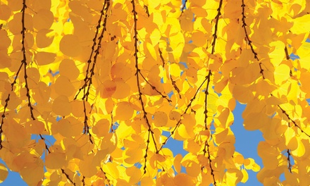 Colour-Changing Katsura Tree
