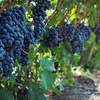 Up to 55% Off Tour and Tasting at Millbrook Winery
