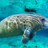 53% Off Manatee Snorkeling Tour from Adventure Diving