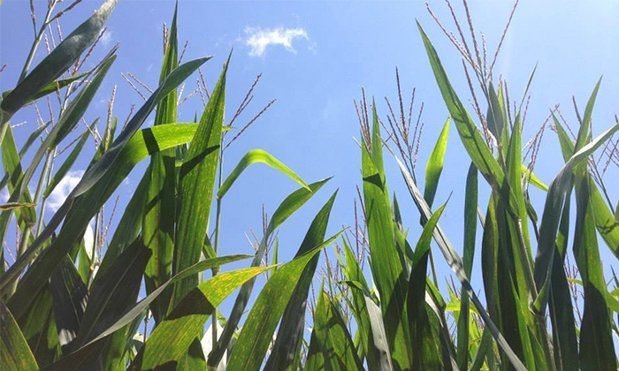 Get Lost Corn Maze - Albemarle: Get Lost Corn Maze for Two or Four (44% Off)